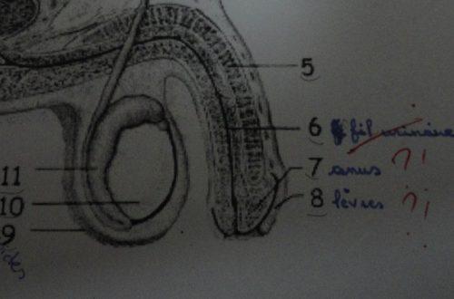Article : Un anus dans le gland, des lèvres sur le pénis