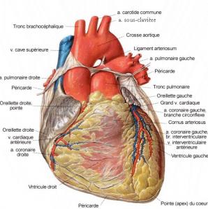 Vue externe du coeur ; https://www.corpshumain.ca