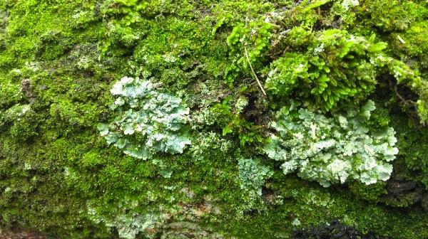 mousse lichen