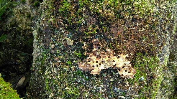 Reste de nid de fourmis