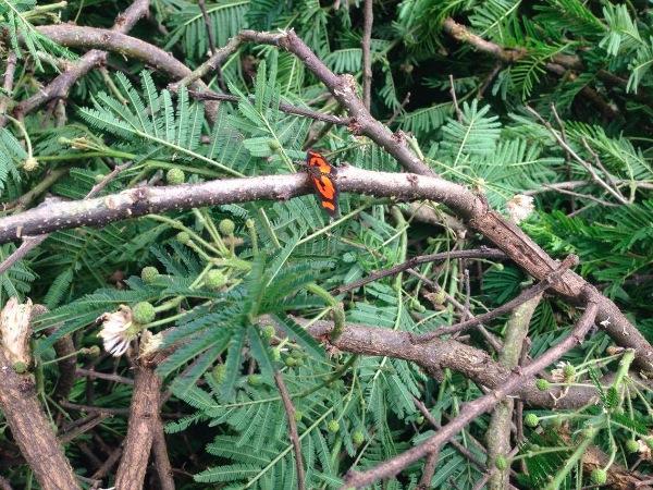 Papillon, Acraea spp.