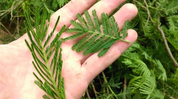 Feuille d'acacia qui réagit à un stress hydrique
