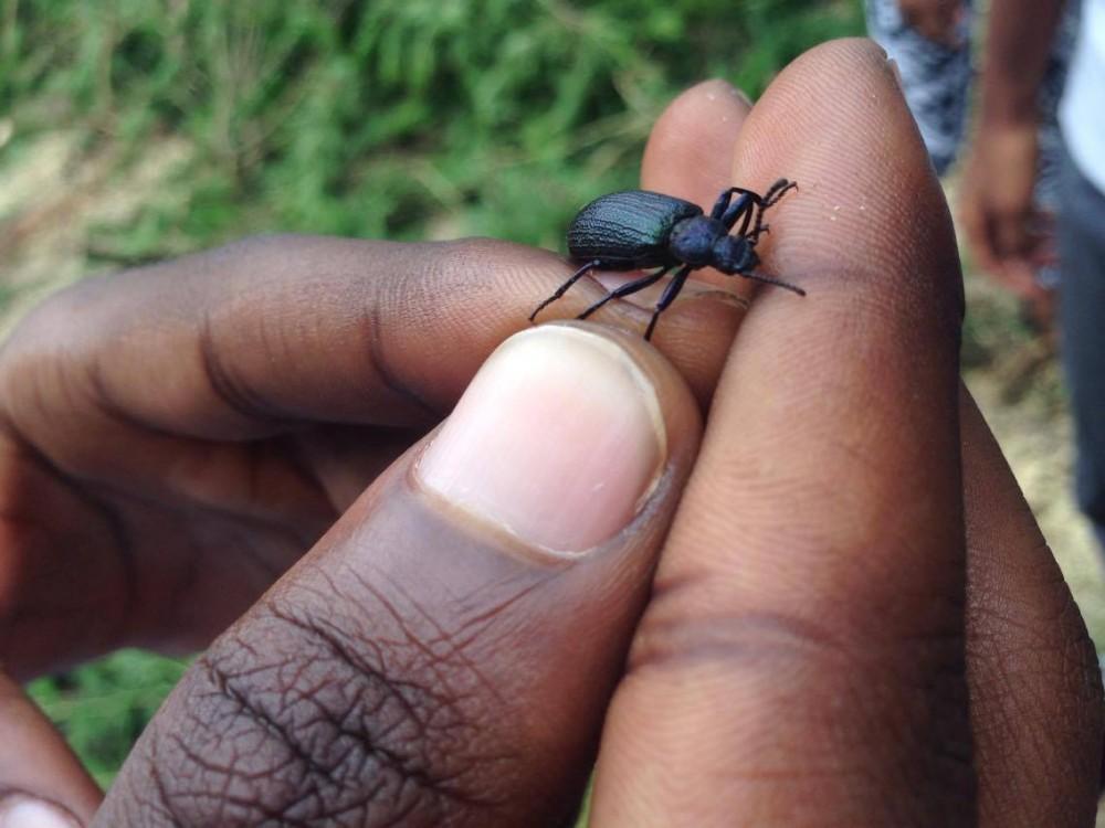 Carabidae spp.