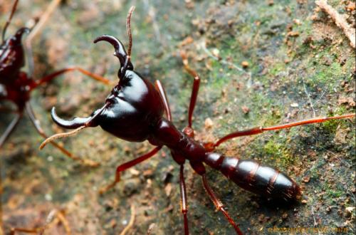 Article : Attaque de fourmis légionnaires [Vidéo]