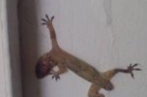 Article : Il est mort le gecko ? [Courrier des lecteurs]