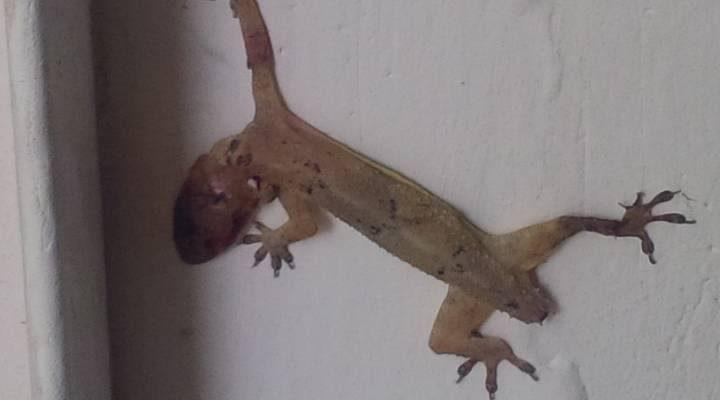 Gecko mur accroché