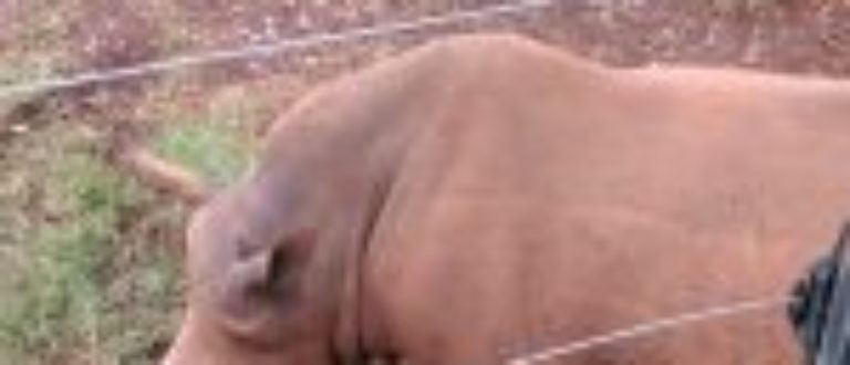 Article : Le Rhino en ville, derrière la clôture électrique