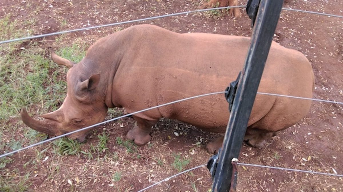Rhinocéros noir à Nairobi