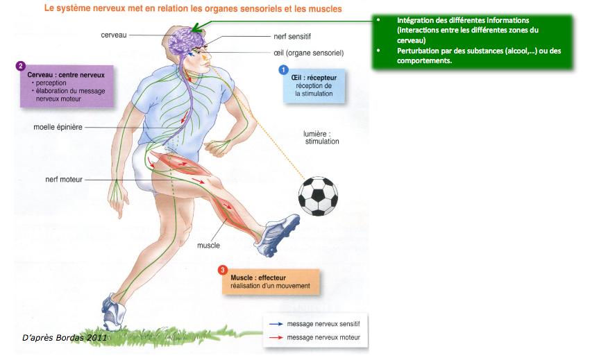 nerf moteur sensitif