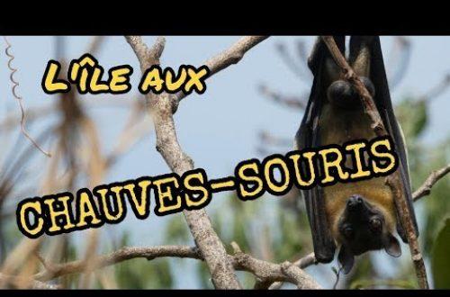 Article : L'île aux chauves-souris, des roussettes paillées africaines au milieu du lac Kivu au Rwanda