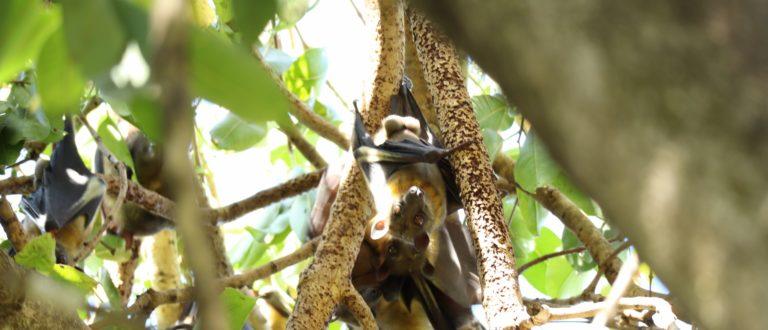 Article : La fellation chez les chauves-souris