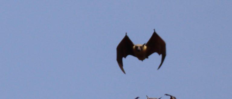 Article : Chroniques de confinement : les chauves-souris de l'apocalypse